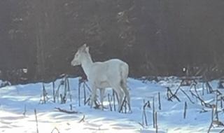 Biały daniel w okolicznych lasach! Wyjątkowe zdjęcia trafiły do sieci